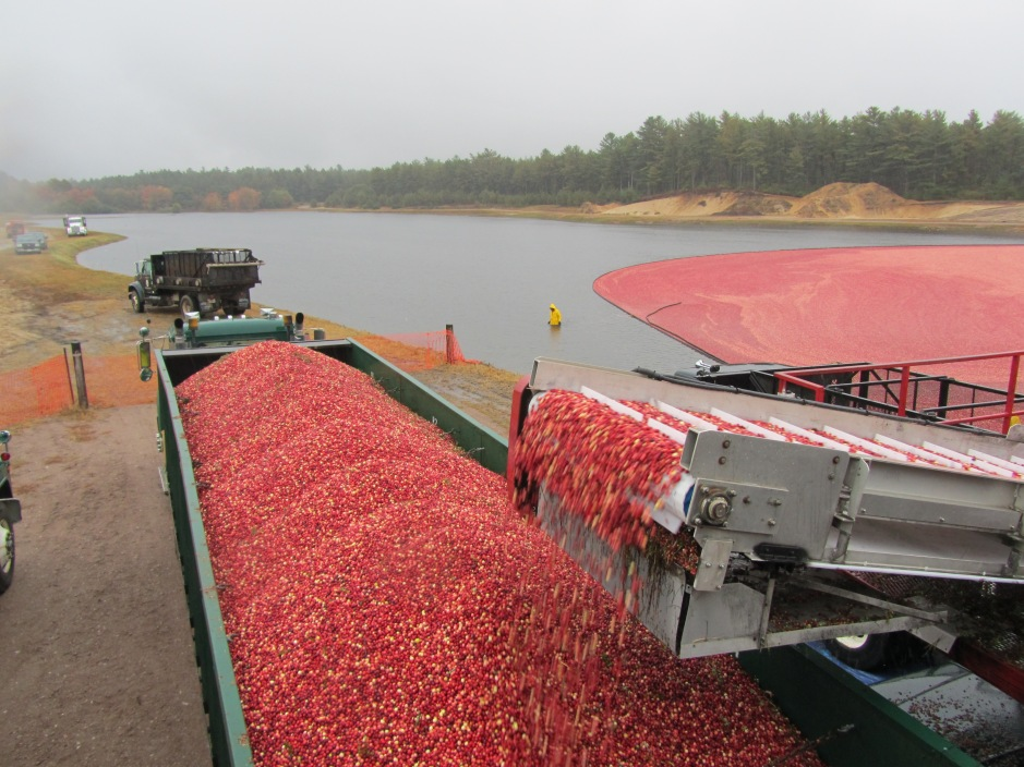 Cranberries on truck