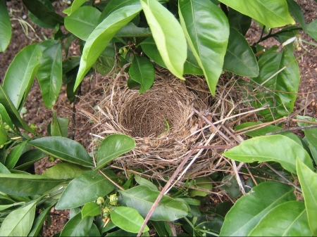 Bird's nest in foliage.